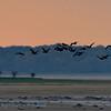 Aaalscholver; Phalacrocorax carbo; Kormoran; Great Cormorant; Grand Cormoran