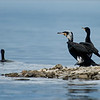 Aaalscholver; Phalacrocorax carbo; Kormoran; Great Cormorant; Grand Cormoran