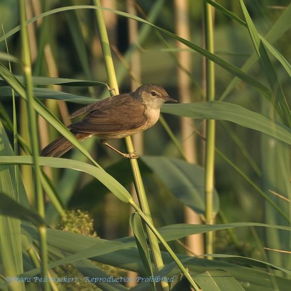 Acrocephalus arundinaceus; Drosselrohrsanger; Great Reed Warbler; Rousserolle turdoide; Grote Karekiet
