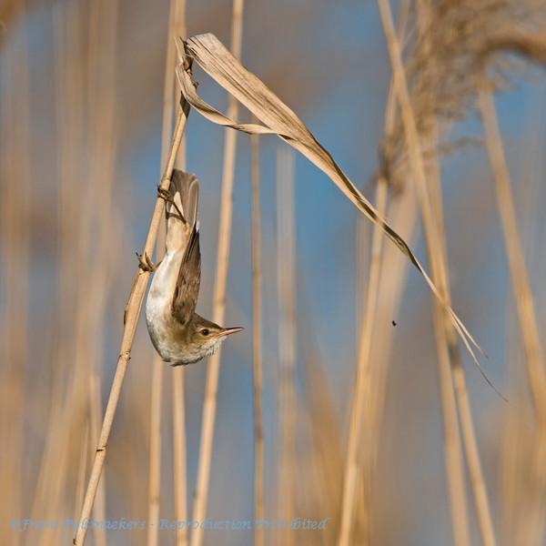 Acrocephalus scirpaceus; Teichrohrsanger; Reed Warbler; Rousserolle effarvatte; Kleine Karekiet