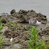 Actitis hypoleucos; Flussuferlaufer; Common Sandpiper; Chevalier guignette; Oeverloper