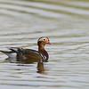 Mandarijneend; 2015; Aix galericulata; Mandarin duck; Canard mandarin; Mandarinente