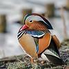 Mandarijneend; Aix galericulata; Mandarin duck; Canard mandarin; Mandarinente