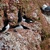 Alk; Alca torda; Tordalk; Razorbill; Pingouin torda; Petit pingouin