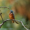 IJsvogel; Alcedo atthis; Eisvogel; Kingfisher; Martinpècheur d'Europe