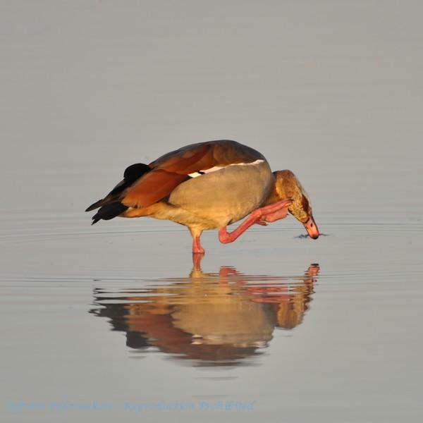 Alopochen aegyptiacus; Nilgans; Egyptian Goose; Oie d'Egypte; Nijlgans