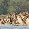 Zambië; Nijlgans; Alopochen aegyptiaca; Kolgans; Egyptian goose; Nilgans; Ouette d'Égypte; Zambia