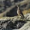 Lagopus mutus; Alpenschneeehuhn; Rock Ptarmigan; Lagopède alpin; Alpensneeuwhoen