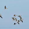 Anser albifrons; Oie rieuse; Kolgans; Whitefronted Goose; Blässgans