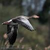 Greylag goose, Grauwe gans, Oie cendrée