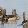 Anser anser; Graugans; Greylag Goose; Oie cendrée; Grauwe Gans