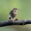 Boompieper; Anthus trivialis; Tree pipit; Pipit des arbres; Baumpieper
