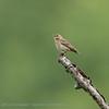 Anthus trivialis; Baumpieper; Tree Pipit; Pipit des arbres; Boompieper
