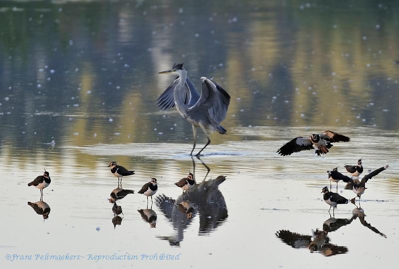 Ardea cinerea; Graureiher; Grey Heron; Héron cendré; Blauwe Reiger