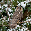 Asio otus; Hibou moyenduc; Ransuil; Waldohreule; Longeared Owl