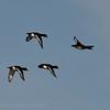 Aythya fuligula; Reiherente; Tufted Duck; Fuligule morillon; Kuifeend
