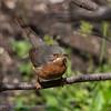 Baardgrasmus; Sylvia cantillans; Subalpine warbler; Fauvette passerinette; Weißbartgrasmücke
