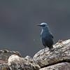 Blauwe; rotslijst; Blauwe rotslijster; Monticola solitarius; Blue rock thrush; Monticole merlebleu; Blaumerle