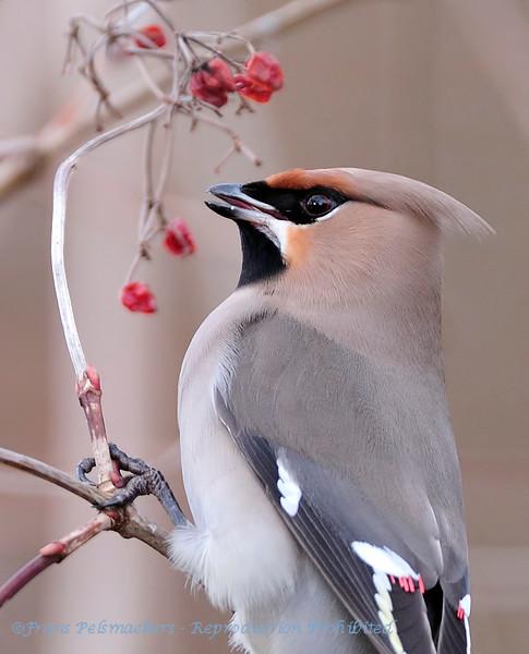 Pestvogel; Bombycilla garrulus; Seidenschwanz; Waxwing; Jaseur boréal