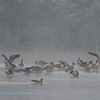Branta canadensis; Kanadagans; Canada Goose; Bernache du Canada; Canadese Gans