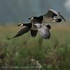 Branta leucopsis; Nonnengans; Barnacle Goose; Bernache nonnette; Brandgans