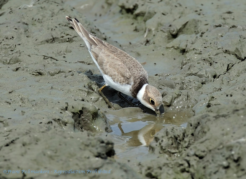 Charadrius dubius; Flussregenpfeifer; Little Ringed Plover; Petit Gravelot; Kleine Plevi