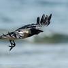 Corvus corone cornix; Nebelkrähe; Hooded Crow; Bonte Kraai; Corneille mantelée
