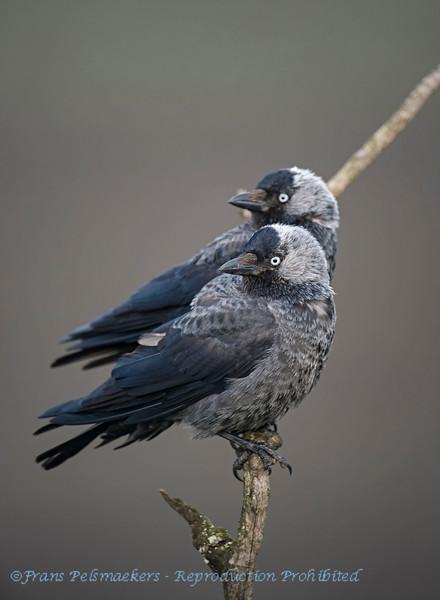 Corvus monedula; Dohle; Jackdaw; Choucas des tours; Kauw