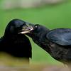 Zwarte Kraai; Corneille noire; Corvus corone corone; Rabenkrähe; Carrion crow