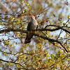 Cuculus canorus; Kuckuck; Cuckoo; Coucou gris; Koekoek