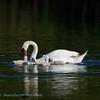 Cygnus olor; Mute Swan; Hockerschwan; Cygne tuberculé  Cygne muet; Knobbelzwaan