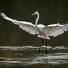 Casmerodius albus; Egretta alba; Silberreiher; Great White Egret; Grande Aigrette; Grote Zilverreiger