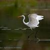 Casmerodius albus Egretta alba Silberreiher Great White Egret Grande Aigrette Grote Zilverreiger