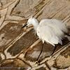 Kleine Zilverreiger; Egretta garzetta; Seidenreiher; Little Egret; Aigrette garzette