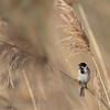 Emberiza schoeniclus; Rohrammer; Reed Bunting; Bruant des roseaux