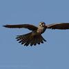 Falco tinnunculus; Turmfalke; Kestrel; Faucon crécerelle; Torenvalk