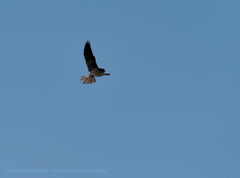 Falco subbuteo; Baumfalke; Hobby; Faucon hobereau; Boomvalk