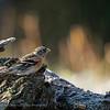 Keep; Fringilla montifringilla; Bergfink; Brambling; Pinson du Nord