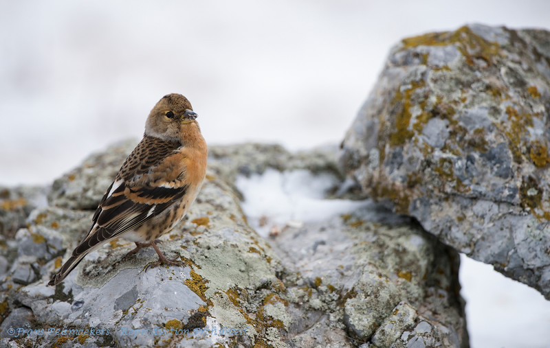Fringilla montifringilla; Bergfink; Brambling; Pinson du Nord; Keep