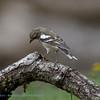 Vink; Fringilla coelebs; Buchfink; Chaffinch; Pinson des arbres