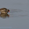 Gallinula chloropus; Teichhuhn; Moorhen; Poule d'eau; Waterhoen