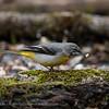 Grote gele kwikstaart Motacilla cinerea Grey wagtail Bergeronnette des ruisseaux Gebirgsstelze
