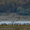 Grus grus; Kranich; Crane; Grue cendrée; Kraanvogel