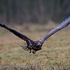 Zeearend; 2019; Haliaeetus albicilla; White-tailed eagle; Pygargue à queue blanche; Seeadler