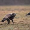 Zeearend; Haliaeetus albicilla; Pygargue à queue blanche; Seeadler; Whitetailed eagle; 2019