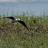Himantopus himantopus; Stelzenlaufer; Blackwinged Stilt; Echasse blanche; Steltkluut