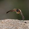 Hirundo daurica; Hirondelle rousseline; Roodstuitzwaluw; Rötelschwalbe; Redrumped Swallow