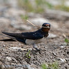 Boerenzwaluw; Hirundo rustica; Rauchschwalbe; Swallow; Hirondelle de cheminée