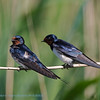Hirundo rustica; Rauchschwalbe; Swallow; Hirondelle de cheminée; Boerenzwaluw