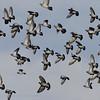 Holenduif; Columba palumbus; Ringeltaube; Wood Pigeon; Pigeon ramier; Houtduif; Columba oenas; Hohltaube; Stock Dove; Pigeon colombin
